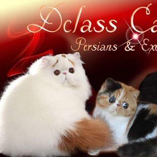 Logo de Dclass Cattery